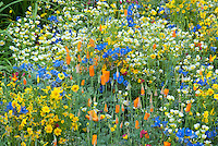 American Native plantings of blue Phacelia, Linum, Escholitzia, Papaver californica, and other brightly colored blue and yellow and white and orange color theme wildflower garden, Bonterra' Organic Wine Garden designed by Kate Frey, Chelsea Flower Show