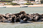 Gray Seals hauled out on the Chatham Bars, Cape Cod.  Close-up of several seals climbing onto sand bar side view.  Chatham, Masachusetts is in the background.