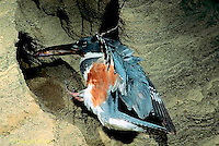 KG01-060x  Belted Kingfisher - female bringing fish to nest - Megaceryle alcyon
