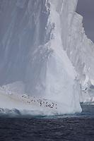 Chinstrap Penguins Pygoscelis antarcticus and Gentoo penguins Pygoscelis papua resting on Iceberg, Weddel sea Southern Ocean, Antarctica