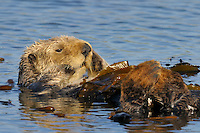 Sea Otter (Enhydra lutris) playing with a surf scoter.
