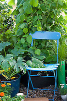 Chair, runner beans, courgette zucchini with marigolds, container vegetables, flowers