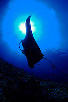 a manta ray, Manta birostris, is silhouetted in front of the sun shining through the surface.  Hawaii. underwater reef scene ocean tropical cartilaginous vertical water open ocean pacific Hawaii Hawaiian silhouette sun shining