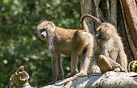 Female Olive Baboons, Papio anubis, in Arusha National Park, Tanzania