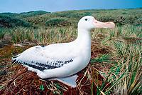 wandering albatross, Diomedea exulans, Prion Island, South Georgia Island, UK (Atlantic)