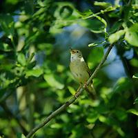 Feldschwirl, Feld-Schwirl, Schwirl, Locustella naevia, grasshopper warbler, common grasshopper warbler, La Locustelle tachetée