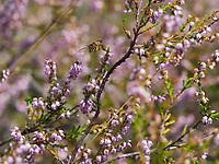 A bee gathers nectar from the heather that flowers at the end of summer in temperate climates. /Une abeille butine de bruyère callune qui fleurie à la fin de l'été dans les climats tempérés.