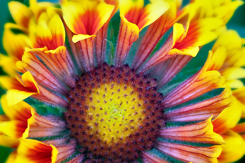 Close up of Fanfare Blanket Flower (Gaillardia 'Fanfare').