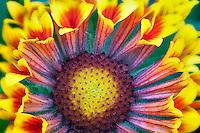 Close up of Fanfare Blanket Flower (Gaillardia 'Fanfare').