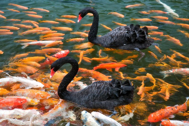 Black Swan and Koi fish. Hyatt hotel. Kauai, Hawaii