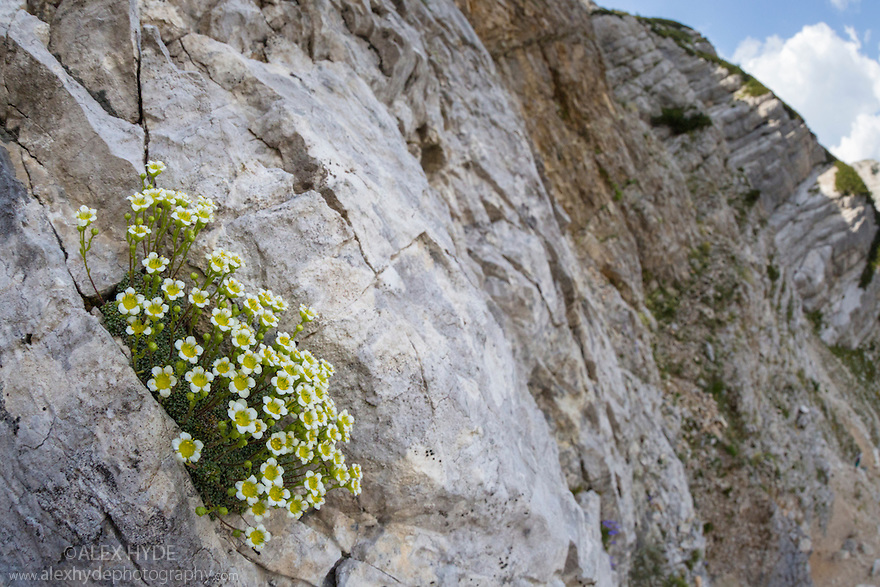 Saxifraga squarrosa growing in a crevice on a limestone cliff face. Triglav National Park, Julian Alps, 2000m, Slovenia. July.
