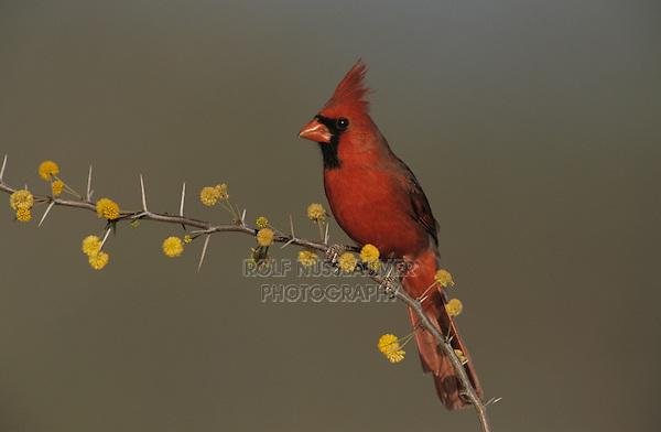 Northern Cardinal, Cardinalis cardinalis,male on blooming Huisache (Acacia farnesiana), Willacy County, Rio Grande Valley, Texas, USA, April 2004