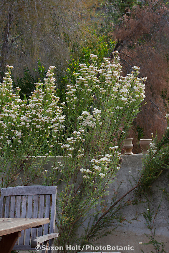 Ozothamnus diosmifolius, Rice Flower shrub Australian Native Plant Nursery, Ventura, California