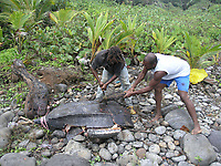 poachers, poached leatherback sea turtle, Dermochelys coriacea, poached after it attempted to nest, Dominica, Caribbean, Atlantic