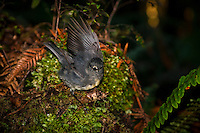 New Zealand robin, Westland National Park, West Coast, South Island, New Zealand