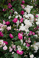 Roses in garden Rosa 'Prosperity' (white Hybrid Musk) AGM + 'Sir Paul Smith' ('Beaupaul') Climbing HT, + pale pink  'Felicia' (HM) AGM, pink and white mixture