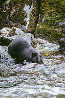 Black Bear (Ursus americanus) trying to catch salmon from small stream in Southeast Alaska.