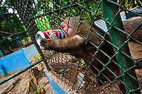 A macaque monkey drinks a cola can given by a visitor to the Havana Zoo, Havana, Cuba, 12 February 2011. The largest and the oldest zoo in Cuba (founded in 1939) is located in a centric neighborhood of the capital. Since the 1990s Cuba struggles with chronic economic crisis and therefore the strong marks of rundown and lack of sources are evident within the whole zoological garden. A lot of cages are empty and out of use for long time, the remaining animals are captured in poorly maintained pits. Concrete enclosures have no vegetation, all facilities are unkept. The food supply is often inadequate and visitors throw junkfood to the animals because there are no zookeepers around.