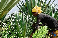 TANZANIA Tanga, Usambara Mountains, Sisal farming and industry, D.D. Ruhinda & Company Ltd., Mkumbara Sisal estate, farm worker harvest Sisal leaves / TANSANIA Tanga, Usambara Berge, Sisal Anbau und Industrie, D.D. Ruhinda & Company Ltd., Mkumbara Sisal Estate, Landarbeiter bei Ernte der Sisal Blaetter, Arbeiterin Nuru Waziri