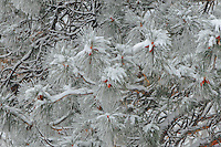 """""""THEN THE BOUGH BREAKS""""<br /> <br /> Ponderosa Pine laden with fresh snow."""