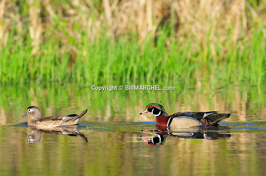 00360-114.08 Wood Duck drake and hen is on the water of small marsh.   Waterfowl, wetland, hunt.