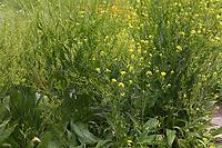 Orientalisches Zackenschötchen, Glattes Zackenschötchen, Türkische Rauke, Bunias orientalis, Warty Cabbage, Turkish wartycabbage, warty-cabbage, hill mustard, Turkish rocket,