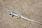 COMMON IGUANA, DESERT LIZARD<br />