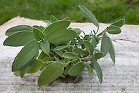 Salbei, Salvia spec., Sage. Zutaten für Kräutertee, Kräuter-Tee, Heiltee, Heil-Tee, Tee, Aufgussgetränk, Kräuter. Herb tea, Herbal tea, tea.
