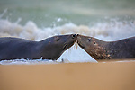 Sealed with a kiss - two seals appear to smooch on a beach.  The pair touch whiskers as waves crash on the sand behind them.<br /> <br /> Up to 6,000 grey seals can be found gathered on Horsey Gap beach in Norfolk, England, where they congregate to give birth and mate during the winter months.  SEE OUR COPY FOR DETAILS.<br /> <br /> Please byline: @DaniConnorWild/Solent News<br /> <br /> © @DaniConnorWild/Solent News & Photo Agency<br /> UK +44 (0) 2380 458800