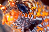 Dragon moray eel, Enchelycore pardalis, Izu ocean park, Sagami bay, Izu peninsula, Shizuoka, Japan, Pacific Ocean
