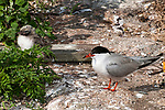 Common tern adult keeps watchful eye of chick on far left.