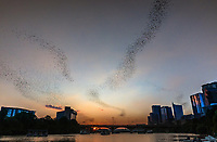 Only in Austin would flying bats become a bona-fide tourist attraction. From March through October, hundreds of people gather every evening at dusk on and around the Ann Richards Congress Avenue Bridge to watch a black cloud of 1.5 million Mexican free-tailed bats stream out from under the bridge and fly away for their nightly feast on mosquitoes and other insects.<br /> <br /> This image was taken from the docks looking west as the sunset over Lady Bird Lake and the Zilker Park area.