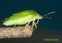 0827-07nn  Green Stink Bug - Acrosternum hilare - © David Kuhn/Dwight Kuhn Photography