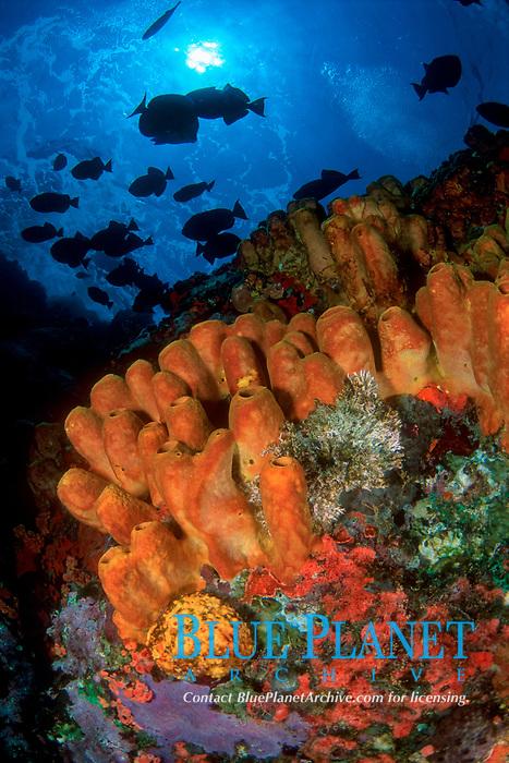 yellow tube sponge, Aplysina fistularis, and silhouette of reef fish, Saba, Netherlands Antilles, Caribbean Sea, Atlantic Ocean