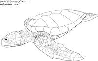 Loggerhead turtle, Caretta caretta, illustration by the artist Wyland