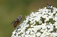 Side view of a fly showing his big red eye on a blurred background