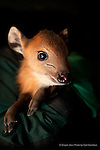 A baby red duiker during a check up at the Oregon Zoo. © Oregon Zoo / photo by Carli Davidson.
