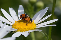 Variabler Flach-Marienkäfer, Variabler Flachmarienkäfer, Veränderlicher Marienkäfer, Kopulation, Kopula, Paarung, Hippodamia variegata, Coccinella variegata, Adonia variegata, Variegated Lady Beetle, Adonis' Ladybird, Spotted Amber Ladybird, White Collared Ladybird, Variegated ladybird, pairing, Marienkäfer, Coccinellidae, Ladybirds, Lady Beetles, Ladybirds