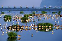 Shorebirds (dowitchers, sandpipers, dunlin), spring migration, Pacific Northwest.