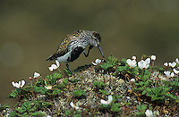 Dunlin, Calidris alpina,adult scratching, Gednjehogda, Norway, June 2001