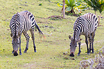 Burchell's Zebra At Lake Bunyonyi Eco Resort