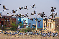 Kheechen/Khichan  north of Jodhpur in the northern part of the Thar Desert in Rajasthan is the Bird Sanctuary. Migratory Demoiselle cranes, (Anthropoides virgo) Thar Desert Rajasthan, India