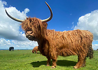 BNPS.co.uk (01202) 558833. <br /> Pic: RedlandCoppice/BNPS<br /> <br /> Pictured: Gladis the highland cow who is no longer with us.<br /> <br /> A farmer whose beloved Highland cow was chased to its death by two pet dogs has been given nine more by a kind stranger.  <br /> <br /> Gladis, a 'beautiful' rare breed, broke her neck and died two months ago along with the unborn calf she was about to give birth to after tumbling 40ft down a steep embankment.<br /> <br /> She was running from two Labradors that had been let off their leads on Eggardon Hill near Bridport, Dorset.