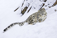 Snow Leopard lying on a snowy, rocky hill - CA