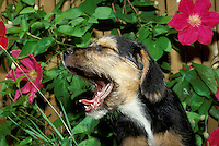 Schnauzer mixed breed laughing out loud (lol) in the garden with red clematis flowers behind. Midwest USA