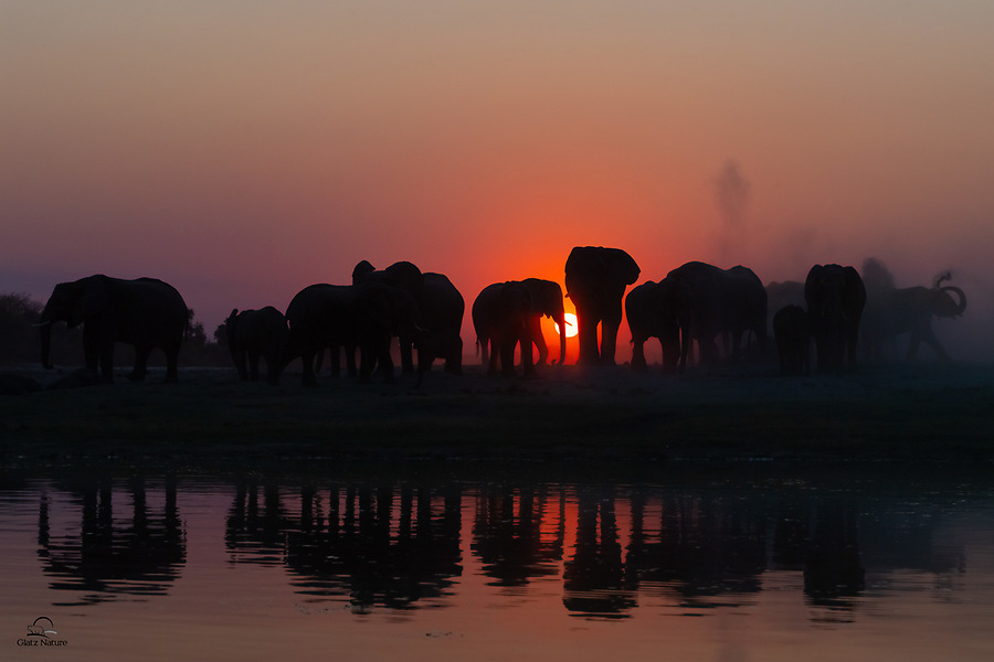 "After an afternoon of drinking water from the Chobe River, a herd or ""parade"" of Elephants (Loxodonta africana) literally heads off into the sunset. They all moved over to a dusty area near the bank, to get the dust and mud baths necessary to keep their skins clear of parasites and to cool off."
