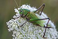 Close view of a big grasshopper on a blurred background