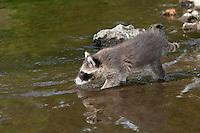 """Waschbär, knapp 2 Monate altes Jungtier sammelt erste Erfahrungen mit dem Element Wasser, Tierkind, Tierbaby, Tierbabies, Waschbaer, Wasch-Bär, Procyon lotor, Raccoon, Raton laveur, """"Frodo"""""""