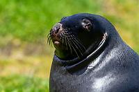 New Zealand Sea Lion (Phocarctos hookeri) resting on Campbell Island, New Zealand.