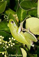 1218-1017  American Green Treefrog Climbing in Bush, Hyla cinerea  © David Kuhn/Dwight Kuhn Photography